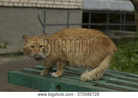A Beautiful Domestic Red-haired Well-fed Well-groomed Cat With A Collar Sits Near The Entrance Of An