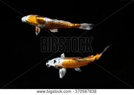 Two Yellow Koi Fish Swim Side By Side In The Water.