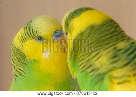 Yellow-green Domestic Parrot Look In Dirty Mirror Close Up