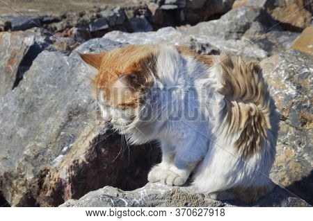 Beautiful Fluffy Homeless Cat Sitting On A Stone. Vagabond Cat Sits On A Rock In The Windy Weather.