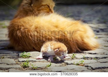 Fluffy Red Cat With Newborn Kitten In The Street. Newborn Kitten Crawling Around Her Mom