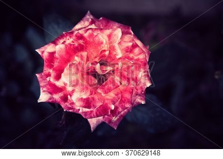 Top View Of Red Rose On A Dark Background. Toning Photo Of Rose With Copy Space.