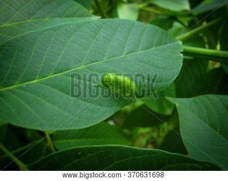 Macro Photo Of Persian Walnut Leaf Blister Mite (aceria Tristriatus, Eriophyes Erineus), Galls On A