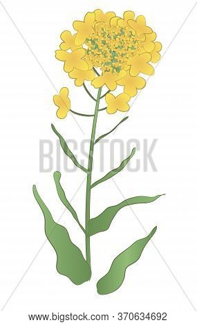 Japanese Style Vector Yellow Rape Flower. For Print And Website Design