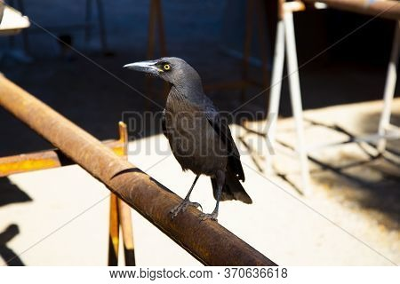 Grey Currawong In The Wild - Australia