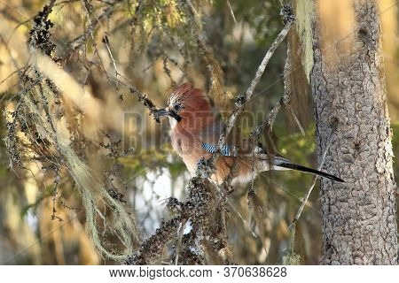 The Eurasian Jay (garrulus Glandarius) Sitting On The Branch Covered By Lichen In Middle Of Beautifu