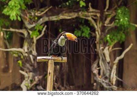 Keel Billed Toucan Bird, From Central America