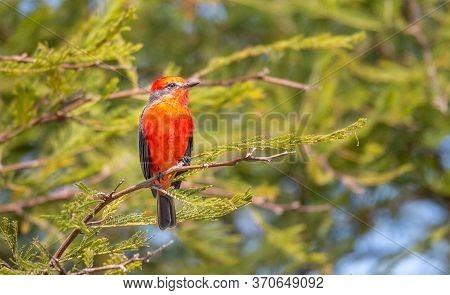 Bird In The Wild, Vermillion Flycatcher Perching On A Branch