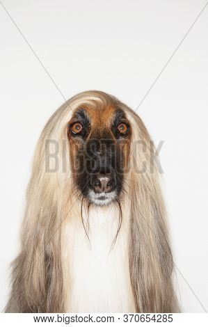 Portrait of Afghan hound close-up