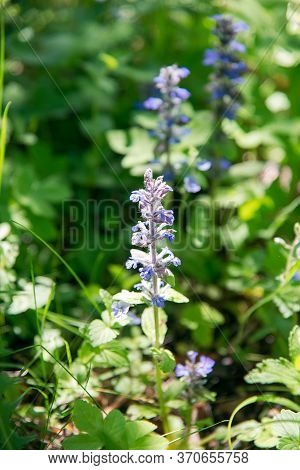 Blue Ajuga Reptans Flower In The Forest