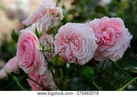 A lot of big white and pink roses with drops of water after rain closeup. Pale Pink roses bushes blooming on the road garden in the sun. Beautiful bouquet of white roses. Care of garden roses bushes