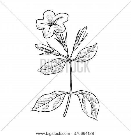 Vector Drawing Minnieroot, Ruellia Tuberosa, Hand Drawn Illustration Of Medicinal Plant