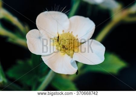 Close-up Of A White Strawberry Flower With Dandelion Fluff