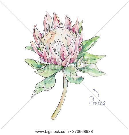 Pink Protea Isolated On White Background. Watercolor Handwork Illustration. Drawing Of Blooming Fiow