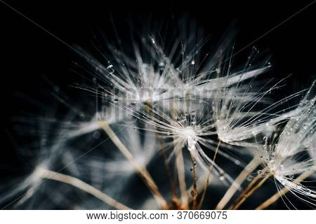 Close-up Of White Dandelion Fluff With Water Drops
