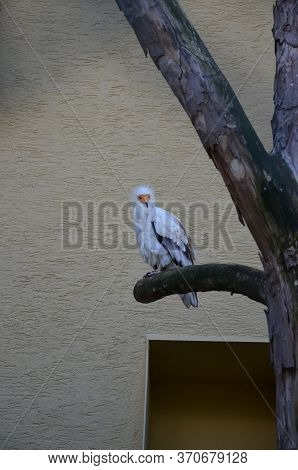 Egyptian Vulture In A Falconry In Frankfurter Zoo