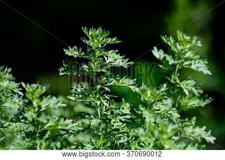 Close Up Of Fresh Green Leaves Of Artemisia Absinthium(wormwood,grand Wormwood,absinthe Or Absint