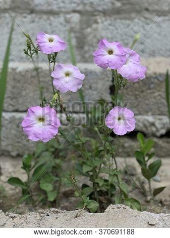 White And Purple Flowers Grow Near The Grey Brick Wall