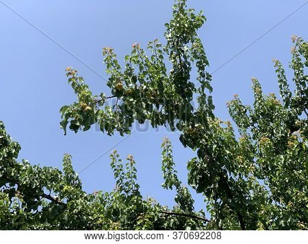 Apricot Tree With Fruits On The Branch On The Blue Sky Background