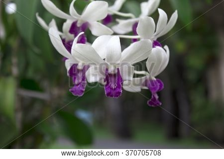 Purple Flower Phalaenopsis Orchid,pink Phalaenopsis Or Moth Dendrobium Orchid Flower. Phalaenopsis A