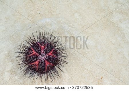 Top View Of A Red Sea Urchin On A White Sandy Beach