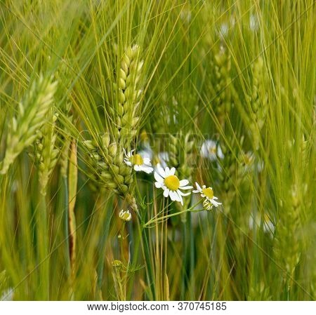 Bunch Of White Daisies On A Background Of Green Corn, Ears Of Barley