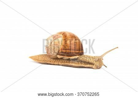 Burgundy Snail, Helix Pomatia, Isolated On White For Your Presentation. Selective Focus. Modern Beau