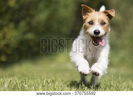 Funny Playful Happy Crazy Jack Russell Terrier Smiling Cute Pet Dog Puppy Running And Jumping In The