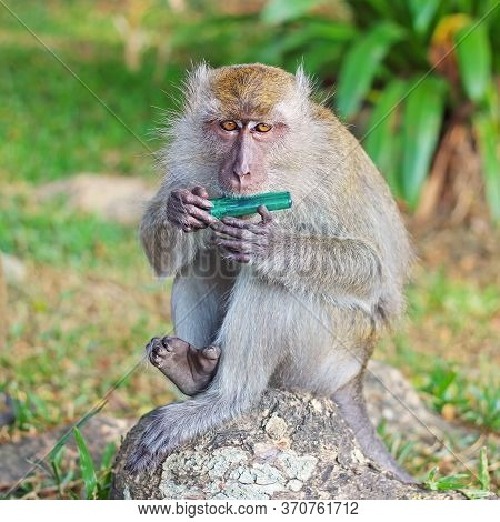 Portrait Of Hungry Macaque Monkey With Inedible Object On A Green Background. Wild Monkey Trying To