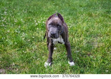 Beautiful Puppy American Staffordshire Terrier In The Park