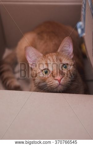 The Red-striped Cat Climbed Into The Box And Sits In It