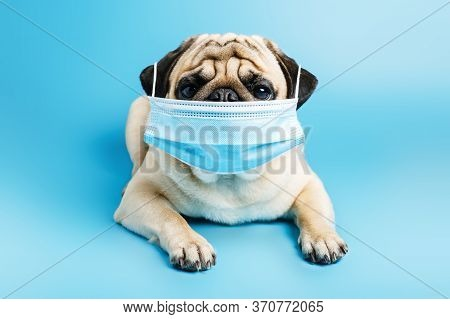 Beige Pug Dog In A Surgical Medical Mask Lies On A Blue Background. Wearing A Mask During A Pandemic
