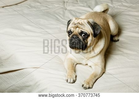 A Cute Beige Pug Dog Is Lying On A Bed With Light Bedding And Is Looking Sadly. Beautiful, Purebred
