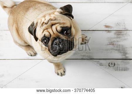 Cute Biege Pug Dog Is Sitting On A White Wood Background. Sad Pug Dog Top View. Pug Dog With Sad Eye
