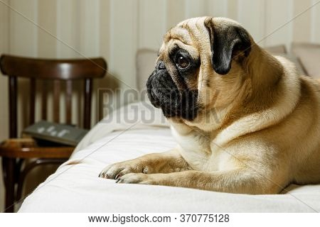 A Cute Beige Pug Dog Is Lying On A Bed With Light Bedding And Is Looking Sadly. Retro Brown Chair In