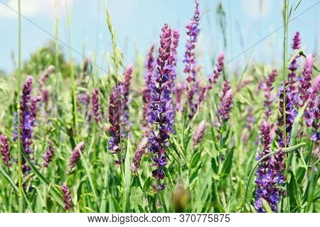 Close Up Purple Summer Flowers On Blurred Background Of Green Grass. Salvia Of Violet Color. Medicin