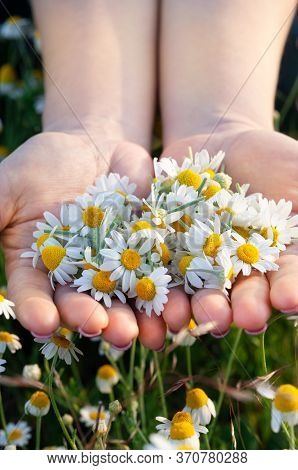 Woman's Palms With Fresh Pharmacy Chamomile Flowers On Sunny Summer Day, Closeup. A Full Handful Of