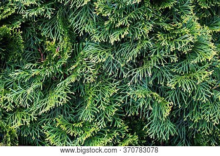 Beautiful Green Branches Of Thuja, Taken Close-up