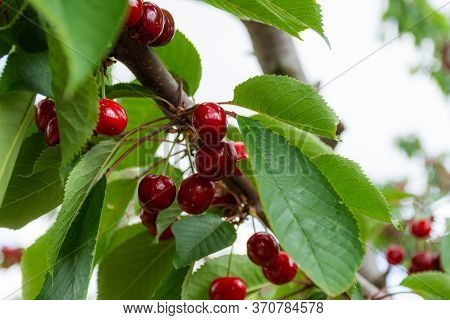 Cherries On The Branches In The Garden, Beautiful Ripe Cherries. Large And Ripe Berries. The Cultiva