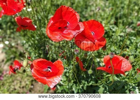 Very Beautiful Red Wild Poppies Glistening In The Sun. 4 Large Flowers. Blurred Background. Intense