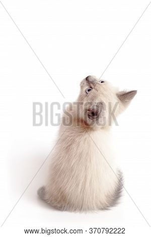 A Small White Kitten Sits And Looks Up With Its Head