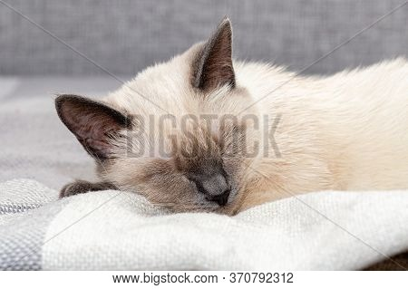 Portrait Of A Thai Kitten Sleeping Soundly On A White Plaid