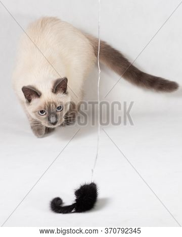 A Thai Kitten Plays With A Black Fur Mouse On A Rope.