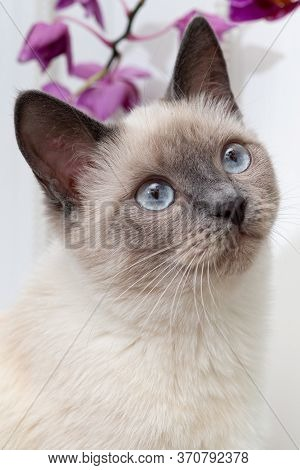 Portrait Of A Thai Cat With Blue Eyes And An Orchid Behind Its Head