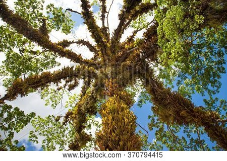 View Of A Beautiful Tree With Climbing And Hanging Leaves Of A Parasitic Plant Against A Blue Sky. N