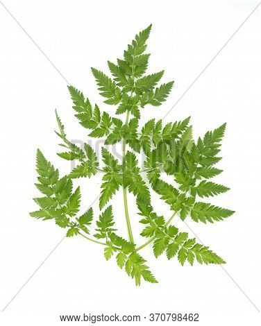 Anthriscus Caucalis Aka Bur-chervil Plant Leave Isolated On White Background. For Biology Books Or P