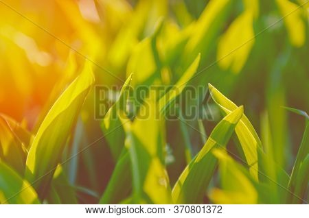 Green Grass In The Sunlight. Spring Day And Green Lily Of The Valley. Valley Lily Of The Valley Sunn