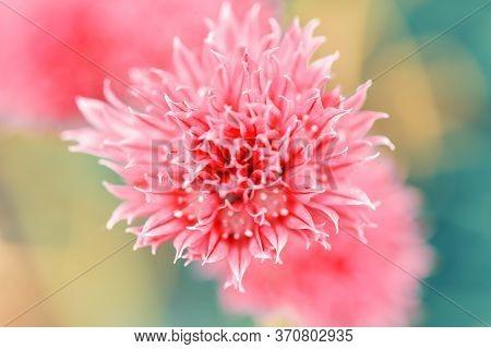 Schnitt Flower.blooming Onions. Fragrant Onions. Red Flower Background. Unusual Beautiful Flower. Fl