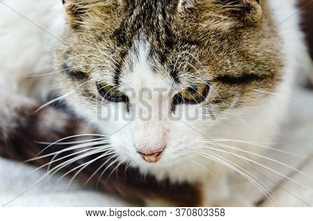 The Cat Is Sneaking Up On The Victim. A Cautious Cat Fits Silently. White Spotted Cat With Yellow Ey