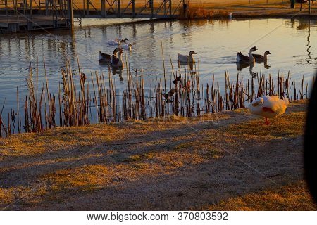 Tame Geese And Ducks At South East City Park Public Fishing Lake, Canyon, Texas.